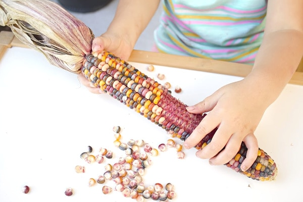 Investigating Indian Corn Preschool Thanksgiving Science